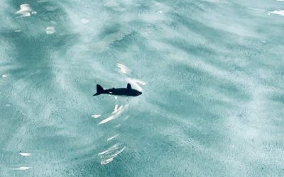 RC Sharky von Carson