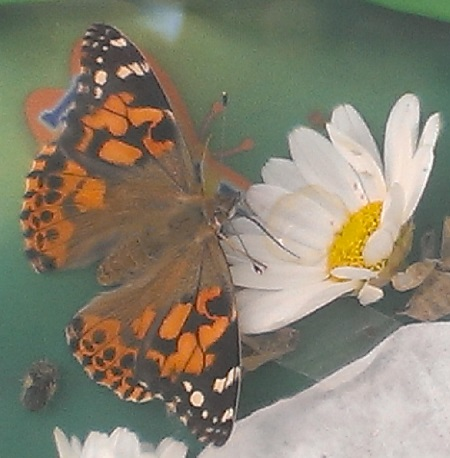 Schmetterlinge züchten - Schmetterlingsgarten von Insect Lore